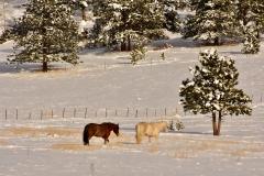 Rocky-Mountain-Horses